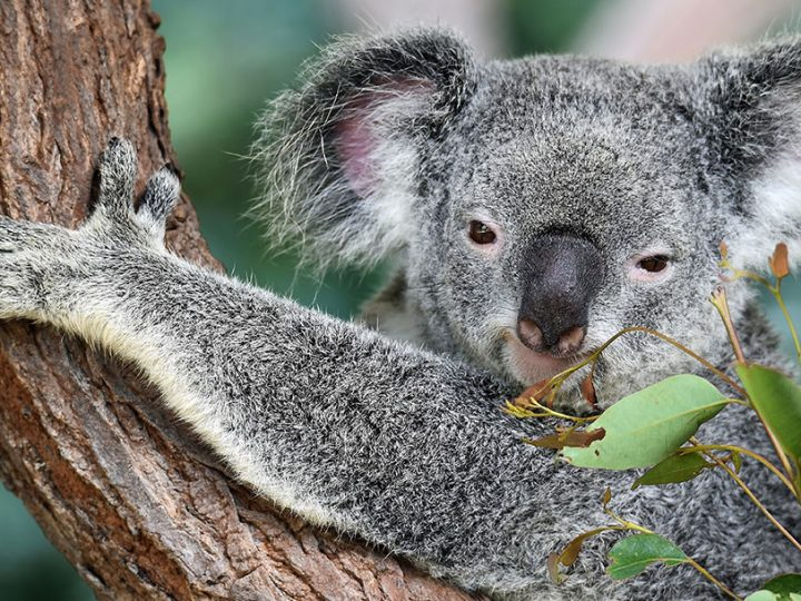 In Australia Koalas are in serious risk of extinction: here are some facts that everyone should know